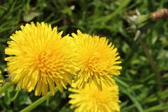 Primo piano giallo del dente di leone di tre fiori erbe Fotografia Stock Libera da Diritti