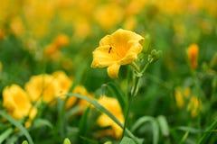 Primo piano giallo del fiore Fotografia Stock