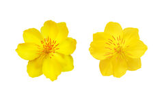 Primo piano giallo del fiore dell'albicocca isolato su bianco Fotografie Stock Libere da Diritti