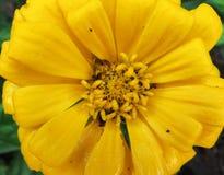 Primo piano giallo del fiore di zinnia Immagini Stock Libere da Diritti