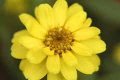 Primo piano giallo del fiore di zinnia Fotografia Stock