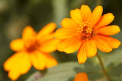 Primo piano giallo del fiore di zinnia Fotografia Stock Libera da Diritti