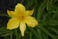 Primo piano giallo del fiore del giglio su un fondo confuso delle foglie verdi fotografia stock