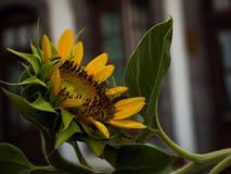 Primo piano giallo del girasole fotografia stock