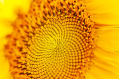 Primo piano giallo del girasole con le gocce Fotografia Stock