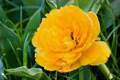 Primo piano giallo del tulipano di Terry Immagine Stock