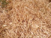 Primo piano giallo dell'erba asciutta Fotografia Stock Libera da Diritti