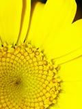 Primo piano giallo della margherita Immagine Stock Libera da Diritti