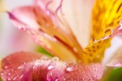 Primo piano giallo di Alstroemeria Fotografia Stock Libera da Diritti