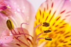 Primo piano giallo di Alstroemeria Fotografie Stock Libere da Diritti