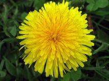 Primo piano giallo luminoso del fiore del dente di leone Fotografie Stock Libere da Diritti