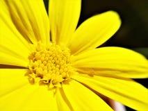 Primo piano giallo luminoso della margherita di macro foto di stami fotografia stock