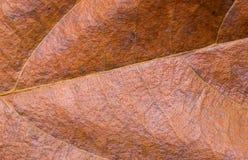 Primo piano giallo rosso della foglia Foto di macro di struttura della foglia di autunno Modello giallo asciutto della vena della Fotografia Stock Libera da Diritti