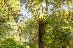 Primo piano gigante della felce di albero Fotografia Stock Libera da Diritti