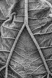 Primo piano gigante della foglia della pianta di Gunnera coperto nel gelo, in bianco e nero immagini stock