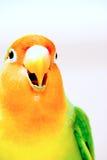 Primo piano gridante del Lovebird Immagine Stock Libera da Diritti
