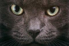 Primo piano grigio del fronte del gatto con gli occhi verdi Fotografie Stock Libere da Diritti