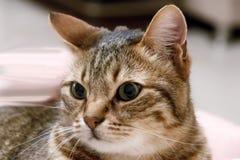 Primo piano grigio del gatto immagine stock libera da diritti