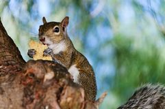 Primo piano grigio dello scoiattolo Immagini Stock