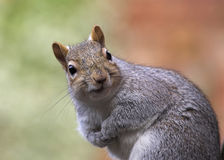 Primo piano grigio dello scoiattolo Fotografie Stock Libere da Diritti