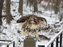 Primo piano Hawk Taking Flight munito bianco Fotografia Stock Libera da Diritti