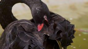 Primo piano il cigno nero pulisce le piume con il suo becco video d archivio
