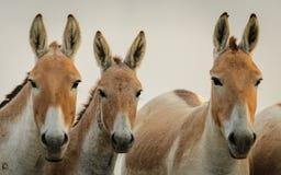 Primo piano indiano dell'asino selvaggio fotografie stock
