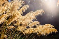 Primo piano indigeno dell'erba della Nuova Zelanda Toetoe immagine stock