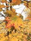 Primo piano ingiallito delle foglie di acero Le foglie di autunno sono gialle e ghiaia, contro lo sfondo delle foglie verdi Immagine Stock