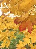 Primo piano ingiallito delle foglie di acero Le foglie di autunno sono gialle e ghiaia, contro lo sfondo delle foglie verdi Immagini Stock Libere da Diritti