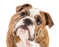 Primo piano inglese attento del bulldog Fotografia Stock Libera da Diritti
