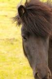 Primo piano islandese del cavallo Fotografia Stock Libera da Diritti