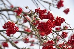 Primo piano isolato della sorba rossa sui rami coperti di brina contro il cielo blu in un giorno soleggiato di inverno Fotografia Stock