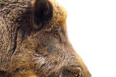 Primo piano isolato di un maiale selvaggio Immagine Stock Libera da Diritti