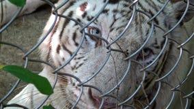 primo piano 4K della tigre bianca di bengala capo che guarda intento dietro la maglia metallica stock footage