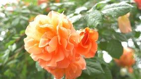 Primo piano 4K un fiore di una rosa arancio dopo una pioggia stock footage