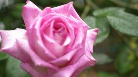 Primo piano 4K un fiore di una rosa rosa dopo una pioggia video d archivio