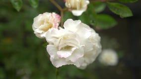 Primo piano 4K un fiore rosa bianco dopo la pioggia stock footage