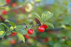 Primo piano la ciliegia di Nanchino del ramo con i frutti rossi Fotografia Stock Libera da Diritti