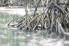 Primo piano la radice della mangrovia Fotografia Stock
