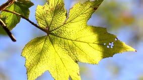 Primo piano, lasciare in autunno, HD 1080P Fotografia Stock Libera da Diritti