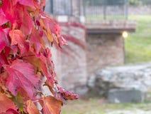 Primo piano laterale della pianta del rampicante con le foglie di rosso e le bacche blu i Fotografie Stock
