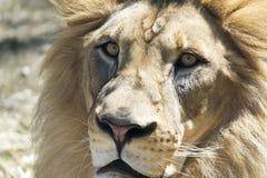 Primo piano Lion Face Fotografie Stock Libere da Diritti