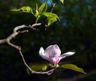 primo piano Lotus-fiorito del fiore della magnolia Fotografia Stock