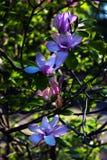 primo piano Lotus-fiorito del fiore della magnolia, bello Immagine Stock