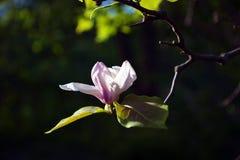primo piano Lotus-fiorito del fiore della magnolia, bello bianco con il rosa Immagini Stock