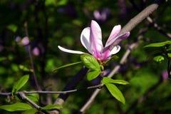 primo piano Lotus-fiorito del fiore della magnolia, bello bianco con il rosa Fotografie Stock