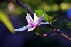 primo piano Lotus-fiorito del fiore della magnolia, bello bianco con il rosa Immagini Stock Libere da Diritti
