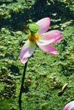 Primo piano Lotus Flower Fotografia Stock Libera da Diritti
