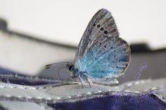 Primo piano luminoso del bello insetto blu della farfalla su bianco Immagini Stock Libere da Diritti